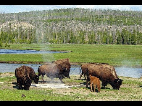 Yellowstone M 4.8 Quake & How Buffalo Ran Away 10 Days Before it HIT! Can They Foretell EQ?