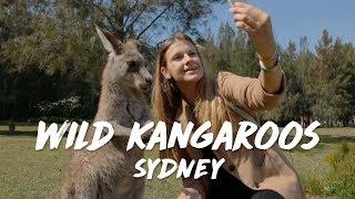 Wild kangaroos in Sydney - Morisset Park
