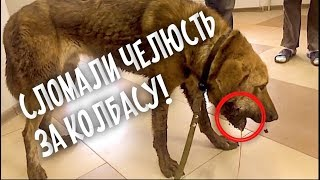 Собаке сломали челюсть, мешала кушать колбасу.