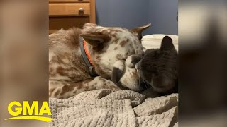 This dog and cat hugging are the only social distance rule-breakers I'll allow l GMA Digital