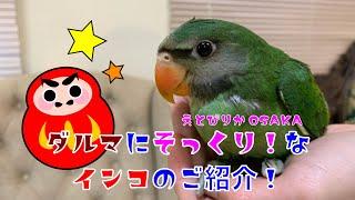 【えとぴりかOSAKA】だるまにそっくりなインコ!【ダルマインコ・Red-breasted Parakeet】