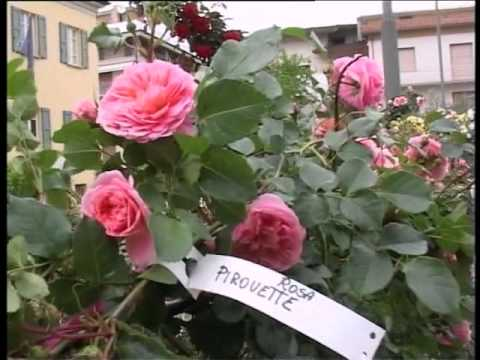 Maioli piante vivaio di rose youtube for Rose piante