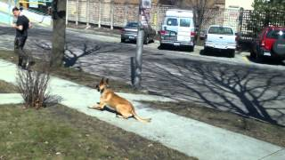 Superdawg-rocky Malinois- Chicago Dog Training Masterpaw