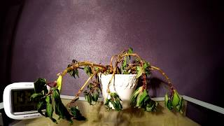 Timelapse: Plant resurrected by water!