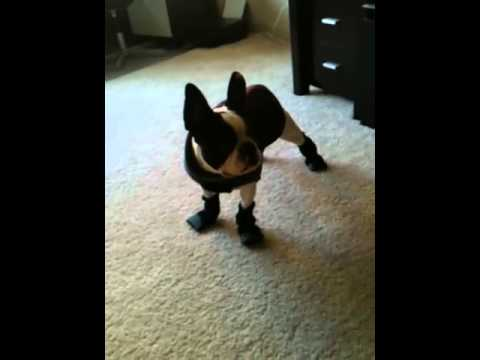 French Bulldog's attempt at walking in boots - YouTube