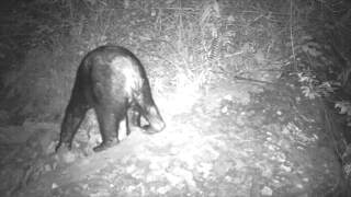 Wildlife Thailand - Amazing insights - Asiatic Black Bear at Night