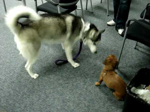 Dachshund vs. Husky - The Showdown - YouTube