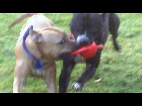 Staffordshire Bull Terrier babes Esme & Leo tugging.