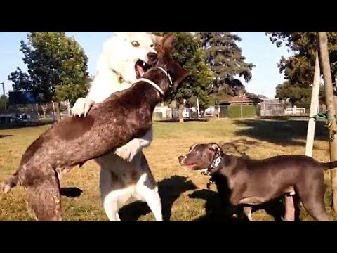 Wolf Dog vs German Shorthaired Pointer Strength Battles Speed At Dog Park