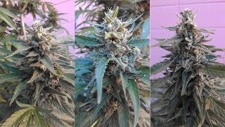 Marijuana Grow Time Lapse