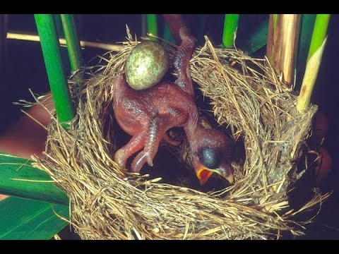 Common Cuckoo chick ejects eggs of Reed Warbler out of the nest.David Attenborough's opinion