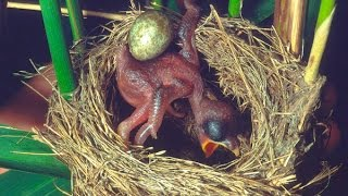 Common Cuckoo chick ejects eggs of Reed Warbler out of the nest.David Attenborough