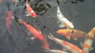 Koi fish at China Bear - Houston TX