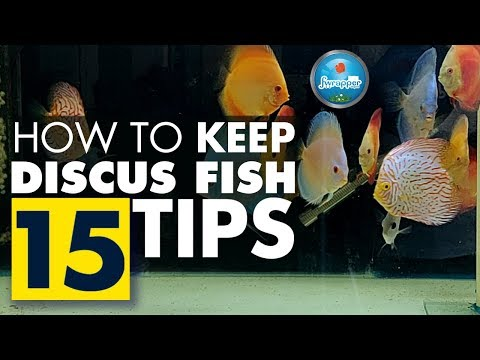 How To Keep Discus Fish || Complete Guide For Beginners || 15 Tips On Discus Fish Keeping