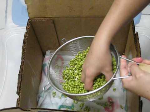 Bean Sprouts - carton box (UNCUT)