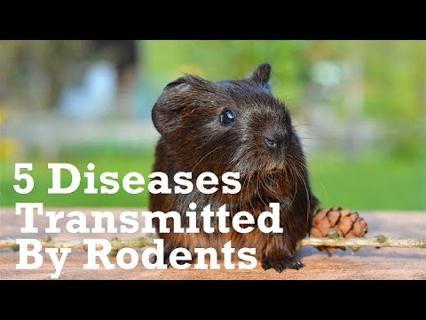 5 Diseases Transmitted By Rodents Within the Home