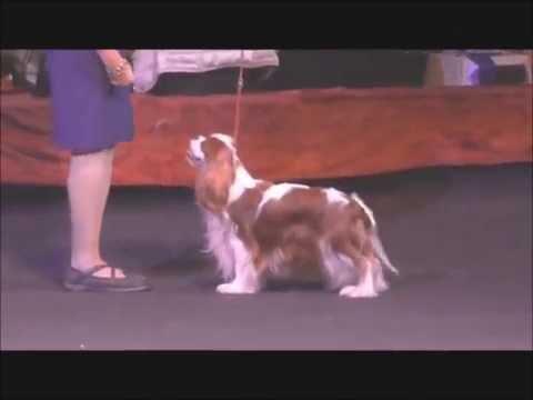 Best Dog Winner (National Cavalier Club Show 2016, Moscow)