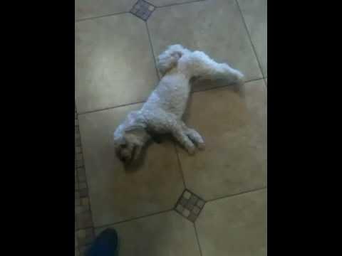 Undiagnosed dog Please help - YouTube