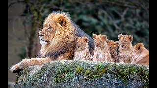Животные мира Жизнь Лимпопо Особый путь Логово зверя Дикая Африка Техника охоты Жертва стаи