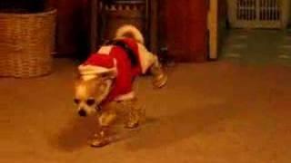 サンタ衣装に身を包んだチワワ、金ピカシューズに戸惑い歩き方がおかしなことに