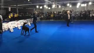 European dog show 2018 - Vize European Junior Winner  - Fort Bellators Promise for Betelges - final