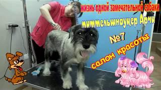 жизнь одной замечательной собаки, миттельшнауцер Арчи 7