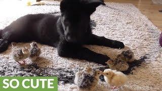 Puppy gently watches over cute turkey chicks