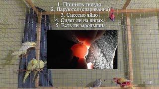 Этапы разведения попугаев Нимфа - Корелла или волнистых