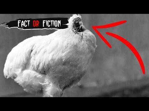 Headless Chicken Lives For 18 Months - Fact or Fiction?