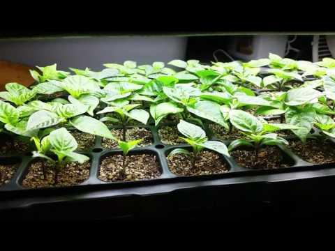 Carolina Reaper Seed Start - Update #5