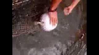 рыба ёж