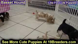 Basset Hound, Puppies, For, Sale, In, Lexington, County, Kentucky, Ky, Bowling Green, Owensboro, Cov