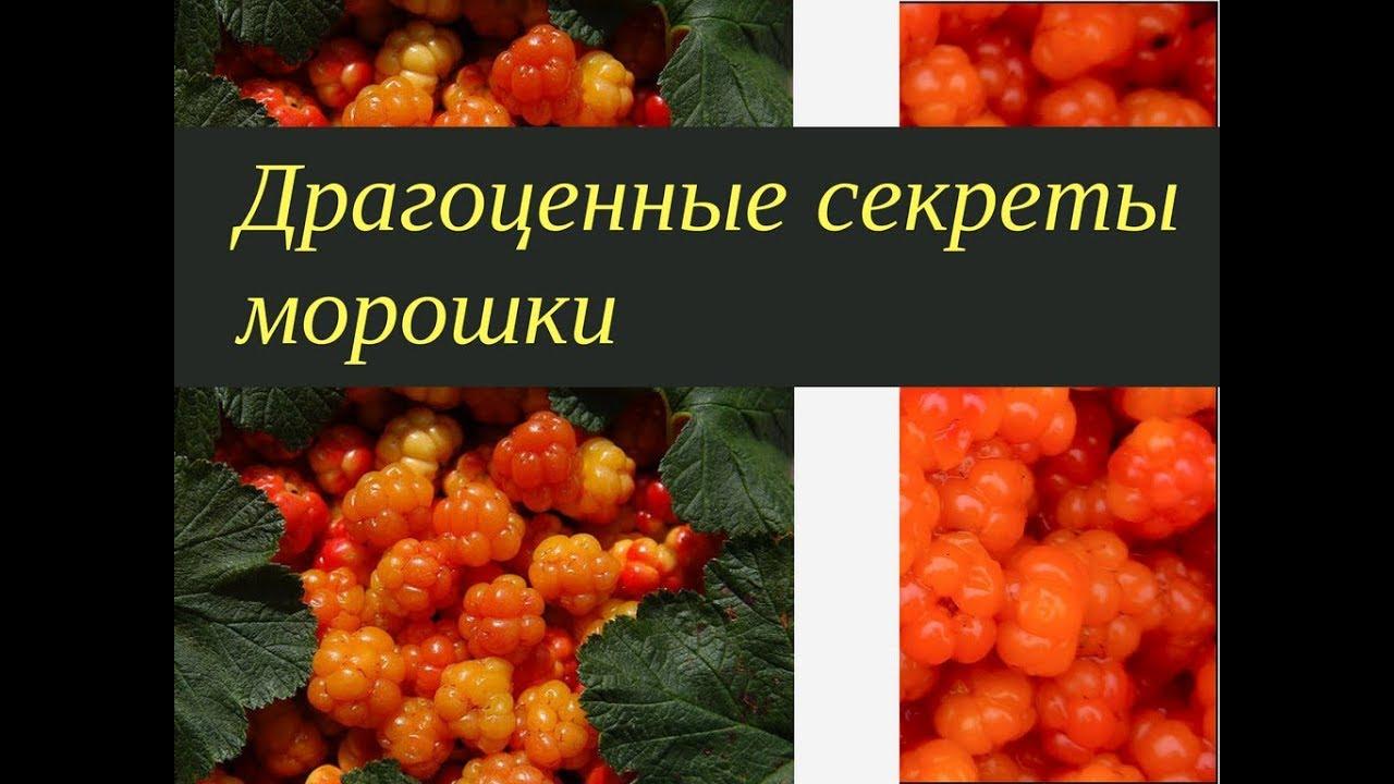 ягоды морошка фото