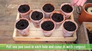 How To: Grow Delicious Peas - Part 1