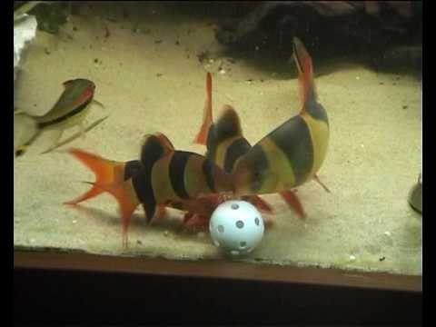Clown Loaches Eating From Plastic Golfball