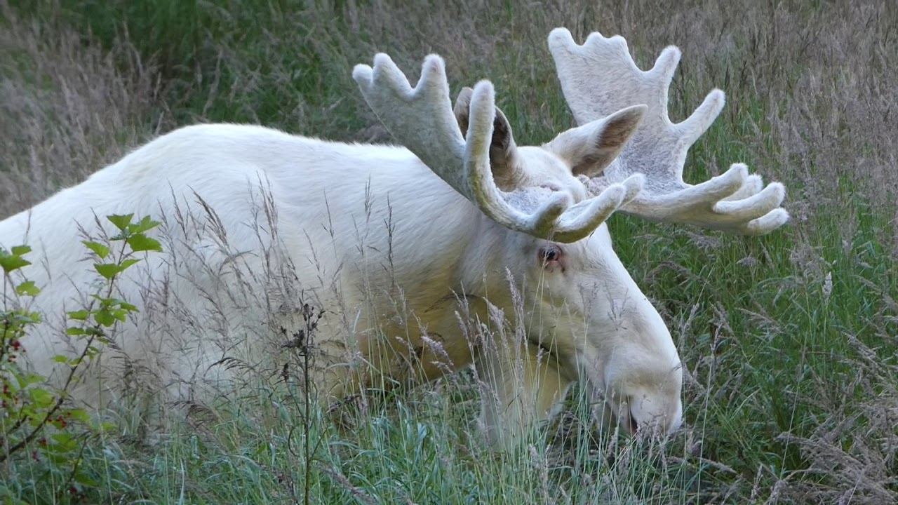 В определенных частях северного Онтарио охота на белого лося запрещена. - Духи предков внимательно следят за браконьерами.