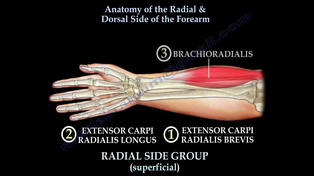 Anatomy Of The Radial & Dorsal Forearm Part 2 - Everything ...