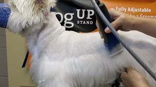 The best westie cut you will ever see 👁️Different point of view