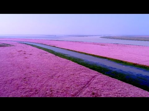 A trip to the sea of purple-pink flowers in China