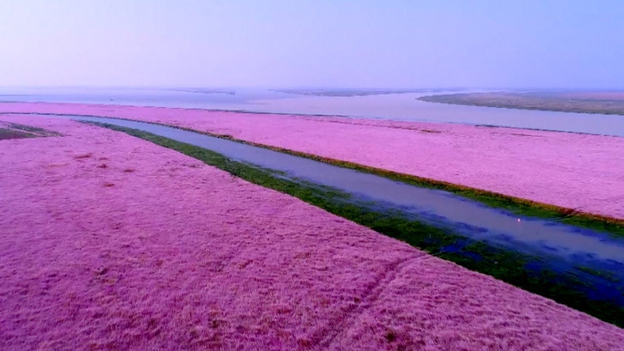 A Trip To The Sea Of Purple Pink Flowers In China Youtube