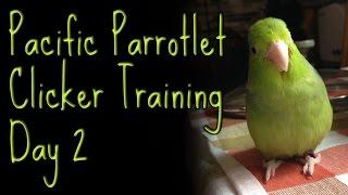 Ellatheparrotlet: Pacific Parrotlet Clicker Training Day 2