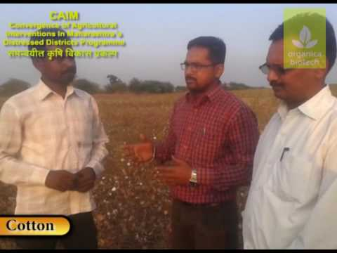 Effect of Cotton farm in terms of better yield and quality attributes of Cotton plant