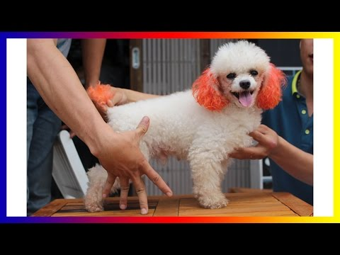 Funny Poodle Tiny - Funny Dog Cute