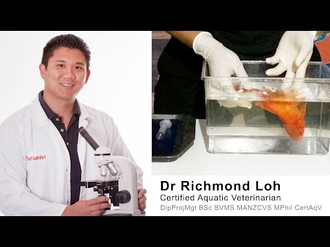 How To Treat A Floating Bloated Goldfish With A Swim Bladder Disorder With Dr Loh Fish Veterinarian