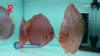 Ikan Discus, Ikan Air Tawar yang Sedang Mempesona - IPOP