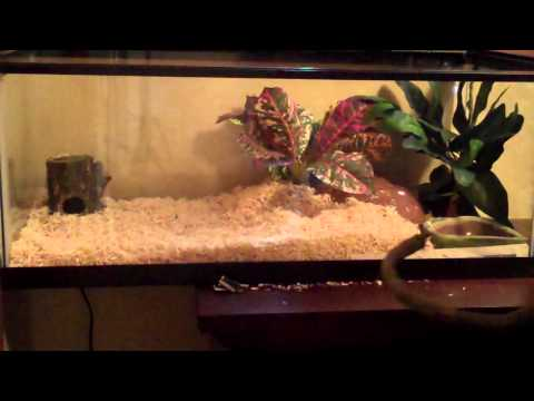 How To Setup A Corn Snakes Cage July 2012 20 Gallon Long