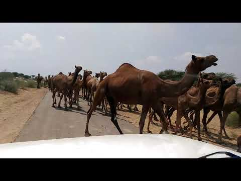Group of camels,,,,,,