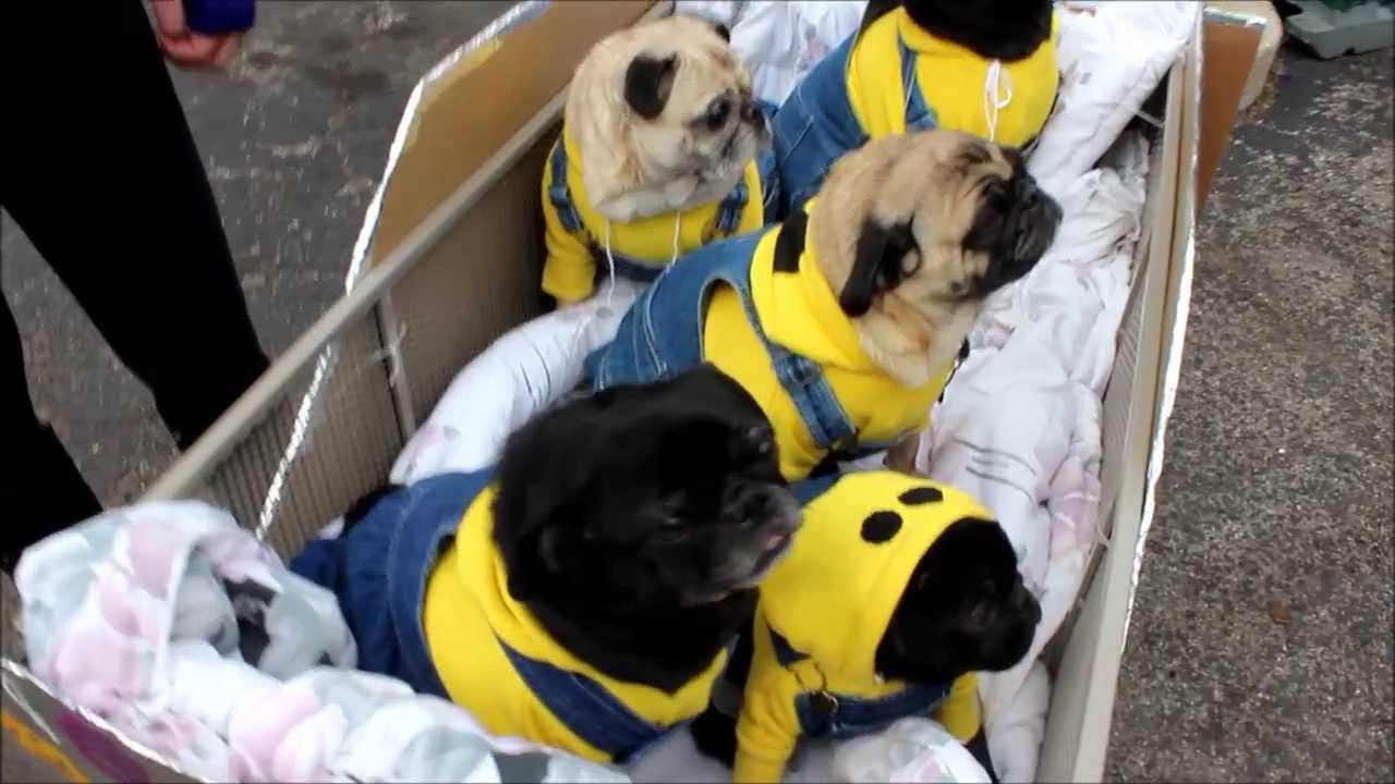 minion pugs at beggin pet parade 2014 youtube