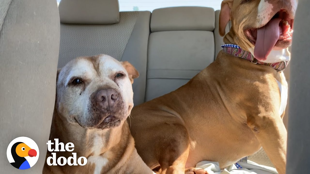 18-Year-Old Pit Bull Has The Sweetest Smile | The Dodo