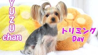 【ヨークシャーテリア専門犬舎チャオカーネ】 柚寿ちゃんがトリミングに...